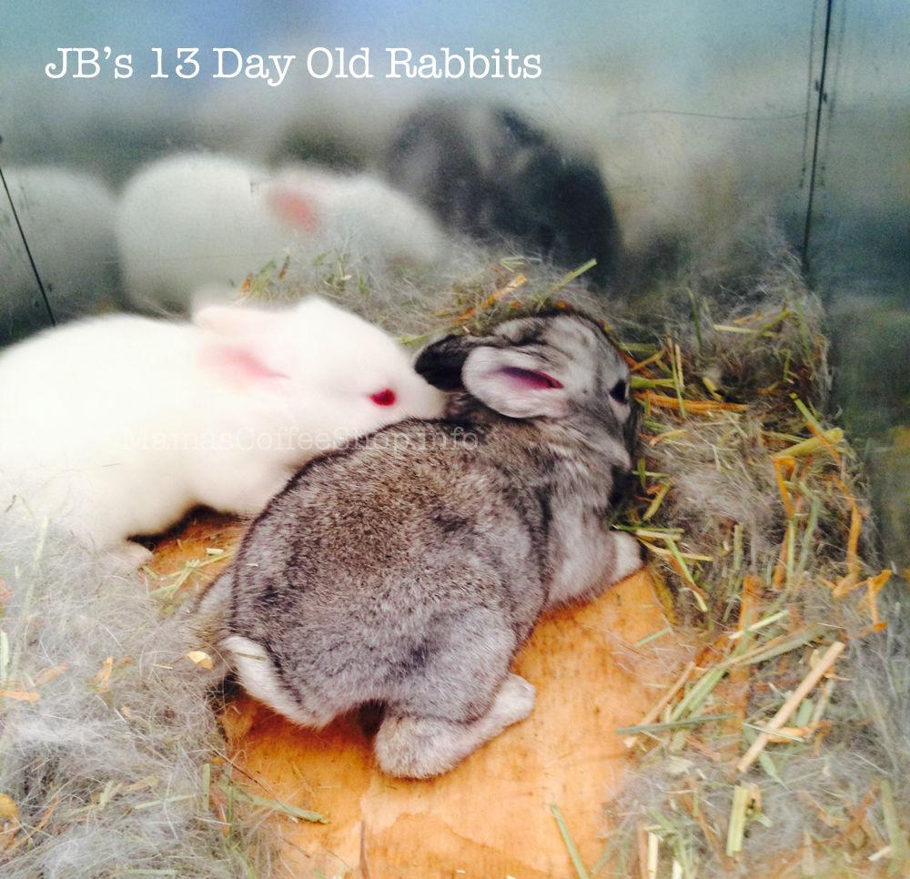 MamasCoffeeShop-13DayOldRabbits-JBs